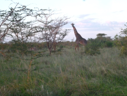 Taken from a motorbike, so it's a terrible photo - but look! A giraffe!